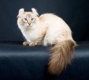 Американский керл кошка описание