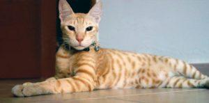Аравийский мау кошка описание