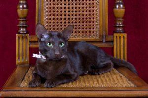 Кошка гавана описание