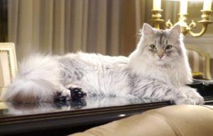 Описание породы сибирской кошки и внешний вид