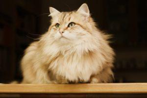 Особенности вязки и родов сибирской кошки
