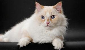 Рагамаффин кошка описание