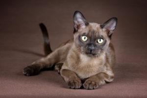 Разведение и организация питомника бурманских кошек