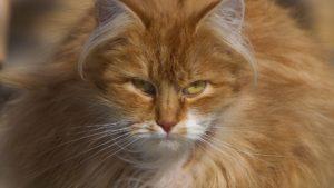 Рыжая кошка описание