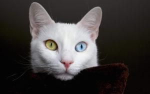 Самые странные породы кошек