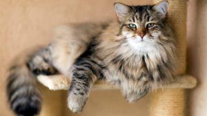 Сибирская кошка описание
