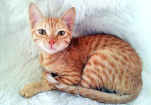 Содержание арабской кошки