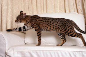 Содержание и особенности ухода за кошками породы саванна