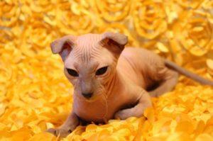 Украинский левкой кошка описание